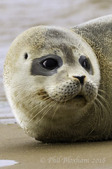Common Seal Pup (Phil Bloxham) Tags: norfolk northsea coast sea serene cute nationaltrust beach beauty nature