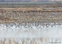 Taking Flight (pandatub) Tags: ebparks ebparksok bird birds shorebird haywardregionalshoreline hrs