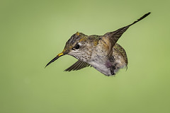 Rudderless (Eric Gofreed) Tags: arizona hummingbird multiflashphotography mybackyard sedona villageofoakcreek 1