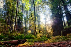 Redwood Forest, California (dirklie65) Tags: redwood forest wald bäume humboldt state park kalifornien california trees farn sonnenstrahlen sunrays morning avenue giants