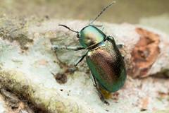 Abirus sp. Chrysomelidae. (David Ball.) Tags: chrysomelidae abirus singapore canon270exii