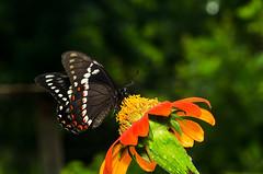 Pterourus menatius (Leonel H. Baldoni) Tags: papilionidae butterfly borboleta mariposa