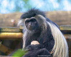 Black and White Colobus Monkey (Harry Rother) Tags: mammal monkey primate black white colobus