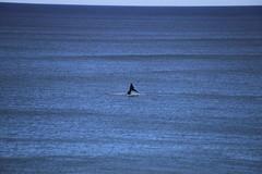 IMG_3599 (gervo1865_2 - LJ Gervasoni) Tags: surfing with whales lady bay warrnambool victoria 2017 ocean sea water waves coast coastal marine wildlife sealife blue photographerljgervasoni