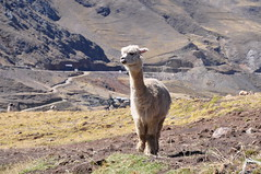 Alpaca (Ryan Hadley) Tags: alpaca animals hiking nature landscape valley laresvalley sacredvalley peru andesmountains andes mountains southamerica mountainlodgesofperu