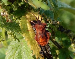 Coreus marginatus forma brachyptera II