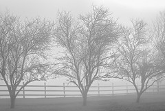 Through the fog (docoverachiever) Tags: trees oregon branches silhouette scenery willamettevalley fog greys blackandwhite landscape fence