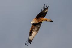 Red Kite (Simon Stobart - Back But Way Behind) Tags: red kite milvus flying north east england uk ngc npc
