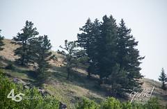 18GD3105 (wdwornik) Tags: 45pictures albertacanada crowsnestpass tourism gwd trees alberta canada ca