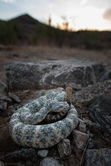 Speckled Rattlesnake (Daniel R. Wakefield) Tags: arizona phoenix speckled rattlesnake venomous snake reptile animal wildlife nature creature creation mountains blue phase granite rock camouflage sky sunrise hills wilderness wild hiking hike photography natural nikon nikkor d750 20mm ngc natgeo herping