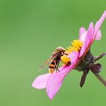 Hornet mimic Hoverfly (Volucella zonaria) thumbnail