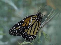 Mariposa aún con alas dobladas (Cande G. de la Paz) Tags: mariposa monarca nature texturas
