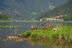 Lago die Endine (Ernst_P.) Tags: ita italien lombardia monasterolo lagodiendine see tier vogel ente stockente blässhuhn sigma 24105mm f40 pato duck lago lake italy italia