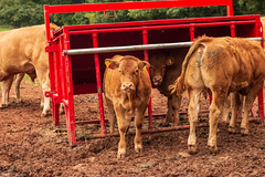Meet Old Spice (Keith in Exeter) Tags: killerton calf cattle animal herd earth soil farm equipment tree devon nationaltrust livestock