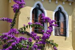fuori l'estate (Paolo Dell'Angelo (JourneyToItaly)) Tags: bougainvillea brenzonelagodigarda provinciadiverona veneto italia summer flowers