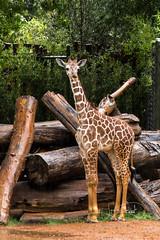 Brandy's Baby Boy (shutterbugdancer) Tags: africansavanna beautifulposture giraffe reticulatedgiraffe fortworthzoo rainyday laborday