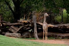 Brandy's Baby Boy (shutterbugdancer) Tags: africansavanna giraffe reticulatedgiraffe fortworthzoo rainyday laborday