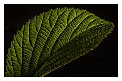 "Spider in Sunlight _ MM _ ""Defining Beauty"" (Werner D.) Tags: wernerd leaf green grün makro details color nature natur allnature macromondays definingbeauty"
