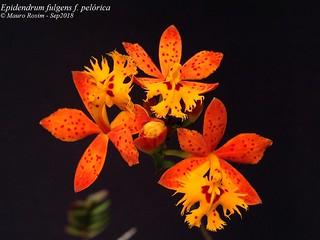 Epidendrum fulgens f. pelórica