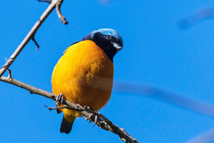 Golden-rumped Euphonia (Guilherme Fialho Soares) Tags: nikon nature wildlife tree forest sky blue birds bird animal photo photography photos picture beautiful love eyes details travel trip telephoto nikond500 d500 colours colors color b brazil