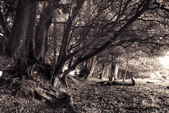 A Row of Trees (Christian Hacker) Tags: trees beechtrees row blackandwhite bw monochrome monochromatic canon eos50d tamron 1750mm nature branches roots devon dartmoor nationalpark hunterspath uk england