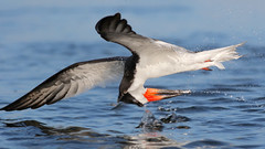 Missed! (bmse) Tags: bolsa chica fish fishing black skimmer bmse salah baazizi wingsinmotion canon 7d2 400mm f56 l