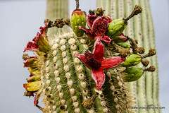 Saguaro fruit (doveoggi) Tags: 4469 scottsdale arizona mcdowellsonoranpreserve desert saguaro fruit