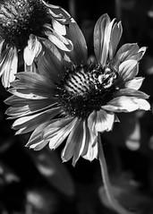 fleur à butin (E r i c C) Tags: fleur florale floral abeillle miel couleur noiretblanc flower bees honeybee honeybees blackandwhitephotography