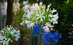 ¡Qué bonita es la flor! (Jesus_l) Tags: europa españa galicia acoruña flor jesúsl