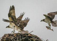 Mom bringing in Fish (lablue100) Tags: fish nest perch juveniles mom osprey birdsofprey family food nature action talons wings beauty flying fighting hungry rivalry animals birds