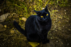 Yellow Eyes! Wild Cat (dyxphoto) Tags: catlovers animals wildnature blackcat
