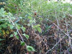 Ψίνθος (Psinthos.Net) Tags: ψίνθοσ psinthos august summer αύγουστοσ καλοκαίρι leaves φύλλα brambles βάτοι βάτα βάτοσ bramble αγκάθεσ αγκάθια thorns valley psinthosvalley κοιλάδα κοιλάδαψίνθου κοιλάδαψίνθοσ oleander πικροδάφνη κλαδιά branches branch κλαδί πεσμέναφύλλα fallenleaves shrub θάμνοσ απόγευμα απόγευμακαλοκαιριού afternoon