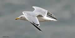 J78A0830 (M0JRA) Tags: birds flight flying wildlife rats walks gardens parks fields trees lakes ponds ducks swans rspb