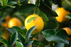 Agriculture citrus close up - Credit to https://homegets.com/ (davidstewartgets) Tags: agriculture citrus closeup crop dewdrops food fresh freshness fruit green health healthy juice juicy leaves lemon nature nutrition rain raindrops summer tree tropical water wet