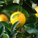 Agriculture citrus close up - Credit to https://homegets.com/