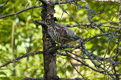 20180906__DSC8791 (miroru) Tags: grouse d7200 tamron150600g2