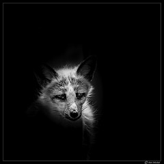 Fox (Ken Mickel) Tags: animal animals arizona kenmickelphotography swiftfox wildlife zoo blackandwhite nature photography williams unitedstates us