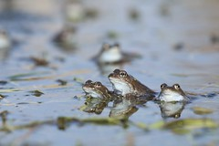 Common Frogs (nikodemmatuszkiewicz) Tags: wildlife wild wildlifephotography wildlifebeauty wildanimals animals animalphotography animalplanet animal nature noncaptive naturespectacle amphibians frogs frog commonfrog