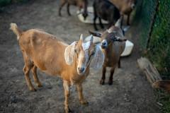 Inquisitive Goats (John Brighenti) Tags: animals sel50f18f sony a7ii a7m2 ilce7m2 photography 50mm goats farm barnyard barn livestock sunset goldenhour horns fur hooves dirt ground green brown tan