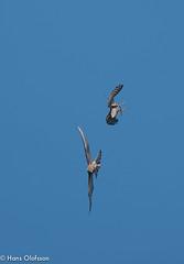Sparvhök leker med Tornfalk (Hans Olofsson) Tags: bird bivråk fågel fågelar ottenby sparvhök sweden raptors öland kestrel sparrowhawk tornfalk