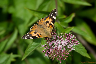 Belle-Dame Vanessa Cardui painted lady