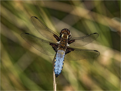Broadbodied Chaser (Paul West ( pwest.me )) Tags: broadbodied chaser broadbodiedchaser dragonfly pond life nature countryside riverside naturelovers wildlife wildlifepics macro wildlifepictures wildlifephotographer wildlifephotography naturephotography naturepictures naturephotographer birdphotography wildlifephoto animal naturephotoportal poultonphotosoc photography wildlifeplanet intothewild wildlifeperfection naturephoto naturepics naturepic followme naturecollection natureseekers