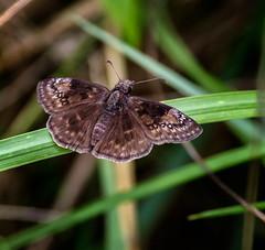 Dull Delight (Portraying Life, LLC) Tags: dbg6 da3004 hd14tc k1mkii michigan pentax ricoh unitedstates butterfly closecrop handheld nativelighting skipper thatch meadow deanroad