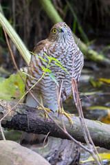 Sparrowhawk (Jeff J Brown) Tags: wildlife birds sparrowhawk predator raptor riveresk