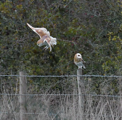 Should've Gone To Specsavers... (KHR Images) Tags: barnowl barn owls tytoalba pair two birds wild birdofprey cambridgeshire fens dusk wildlife nature nikon d500 kevinrobson khrimages
