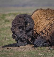 North American Bison (Turk Images) Tags: bisonbisongrasslands national parknorth american bisonval marie bison bovidae mammals saskatchewan buffalo spring