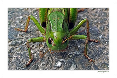 Hüpfer II   _  Explored Sept 15 2018 (Badenfocus_1.000.000+ views_Thanks) Tags: badenfocus harz oberharz grashüpfer grasshopper grün green lgstylus2 explore explored entdecken inexplore