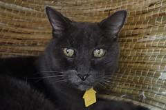 Bonkers' 19th Birthday, in His Favorite Cat House (sjrankin) Tags: 15september2018 edited animal cat kitahiroshima hokkaido japan bonkers birthday closeup cathouse wicker chigura