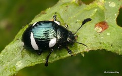Leaf beetle, Euryceraea = Dorysterna paradoxa, Chrysomelidae (Ecuador Megadiverso) Tags: andreaskay beetle coleoptera ecuador id141 mindo platyphora chrysomelidae euryceraeaparadoxa dorysternaparadoxa