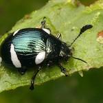 Leaf beetle, Euryceraea = Dorysterna paradoxa, Chrysomelidae thumbnail